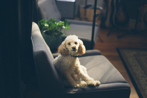 Poodle on the sofa