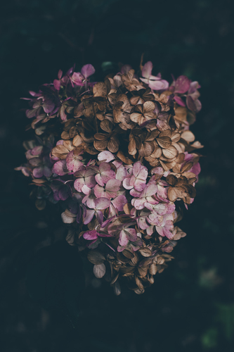 Dried lilacs