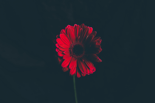 Single red flower