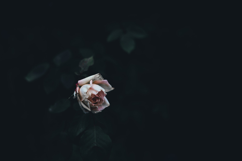 Single rose in the dark