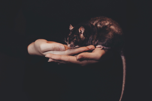 Rat in hands