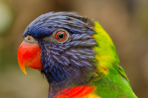The rainbow lorikeet parrot