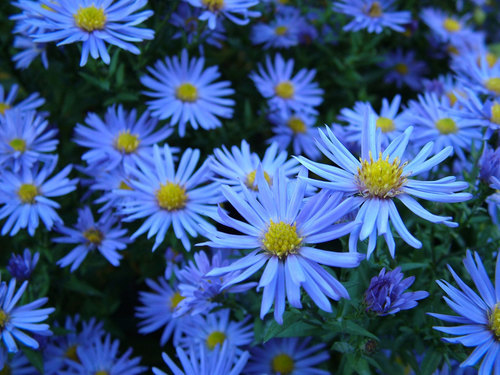 Blooming Blue flowers