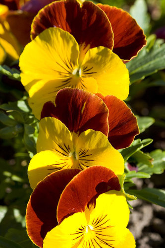Pansies blossom close up