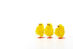 Three Yellow Chicks On White Background