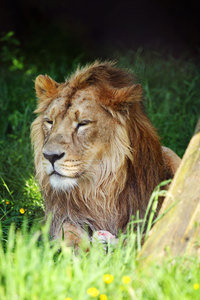 Male Lion In Natural Landscape