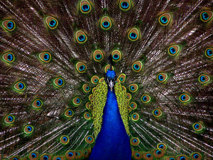 Peacock with big feathers