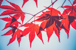 Red leaves on a branch