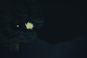 Single lotus flower on water