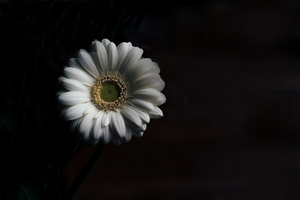 White gerbera in dark background