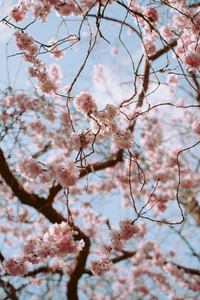 Branches through pink blossom