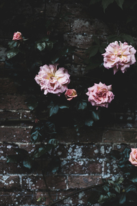 Drying roses besides a wall