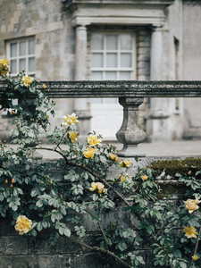Yellow roses on a vintage wall