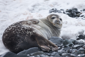 Sea lion in snow