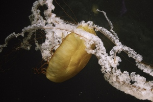 Yellow jelly fish