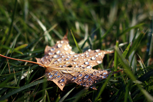 Fallen leaf with drops