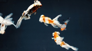 Three aquarium fish
