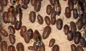 Group of Blaberus craniifer insects