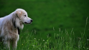 Blonde dog in grass