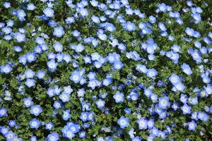 Blue flax bed