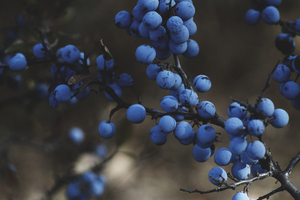 Blueberries in a tree