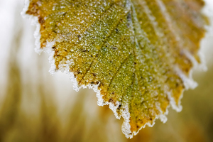 Frozen yellow leaf