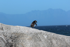 Tux in Boulders Beach, Cape Town, South Africa (Unsplash).jpg