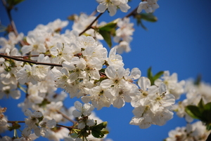 White blossom under blue sky