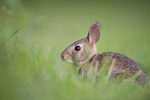 Brown rabbit in green grass