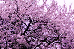 Tree with pink blossom