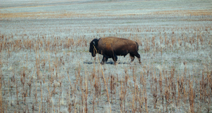 Buffalo in a dry prairie