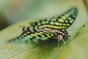 Green butterfly on a leaf