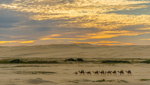Camel train in sunset