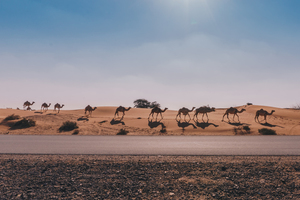 Camels walking in the sand
