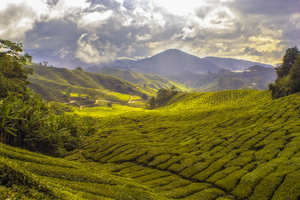 Fileds in Cameron Highlands, Malaysia