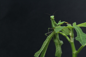 Camouflaged mantis