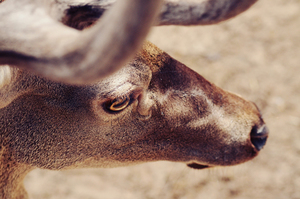 Male deer's face