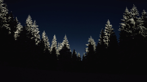 Evergreen forest in dark