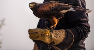 Hawk on a hand with glove