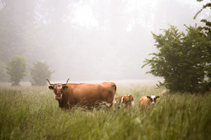 Cattle in meadow