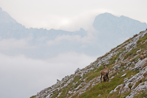 Wild goat on hill side