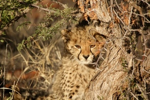 Cheetah's cub in a tree
