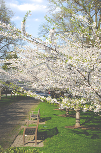 Cherry flowers in the park