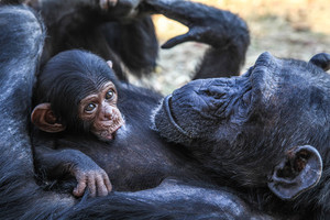Ape with its baby