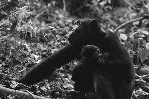 Chimpanzee mother and child