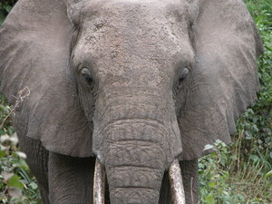 Elephant up close photo