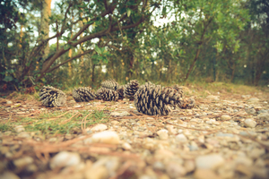 Pine cones in the ground