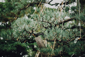 Evergreen tree branch