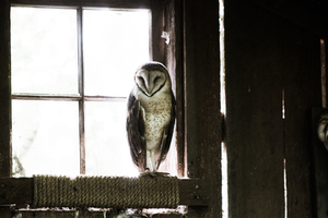 Owl on a window