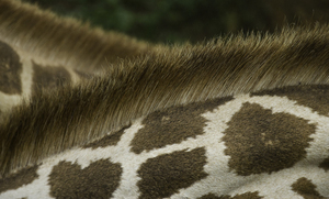 Close-up of giraffe neck